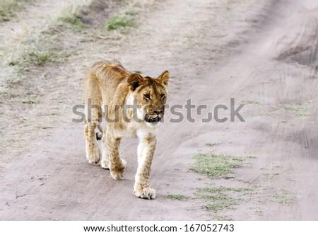 A lion cub walking - stock photo