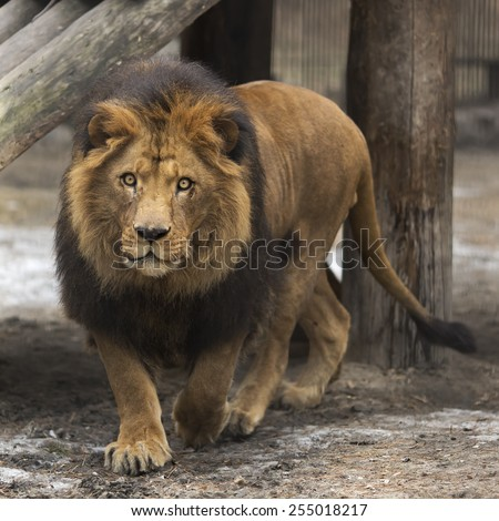 A lion is staring ahead into the horizon.  - stock photo