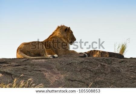 A lion, Kenya - stock photo