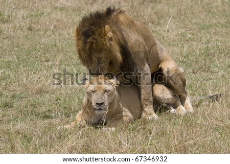 A lion & lioness mating on the plains of the Masai Mara. - stock photo