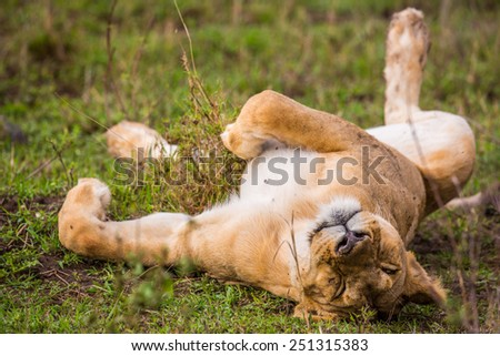 A lion naps after feeding on a freshly killed wildebeest carcass. - stock photo