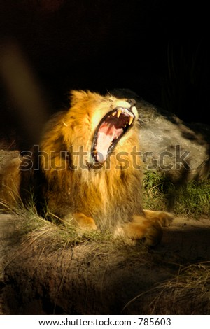 A lion roars at his best. - stock photo