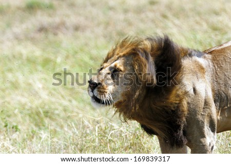A lion rotating his head to remove the flies - stock photo