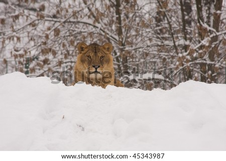a lion sitting on snow in winter - stock photo