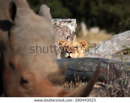 A lion watches a rhino walk past. This abstract image of the scene was taken in South Africa - stock photo