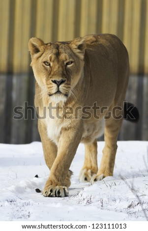 a lioness - stock photo