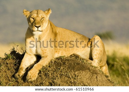 A lioness basking in the early morning sun in Kenya's Masai Mara - stock photo