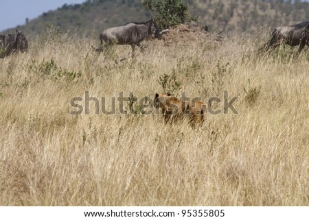 A lioness chases a herd of wildebeeest in attempt to kill. - stock photo