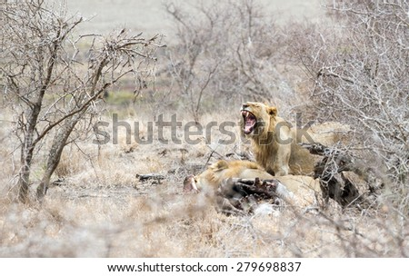 A Lioness cries out at a Zebra kill in Kruger Park, South Africa. - stock photo