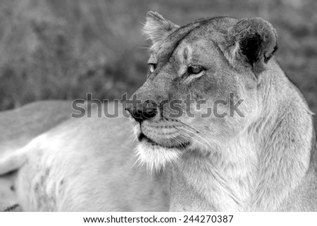 A lioness looks into the distance - stock photo