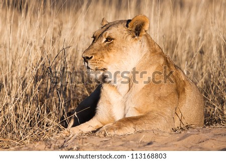 A lioness resting in golden afternoon light - stock photo