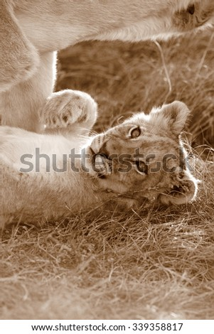 A lioness shares a tender loving moment with one of the young cute baby lion cub. Taken on safari in South Africa, Eastern Cape - stock photo