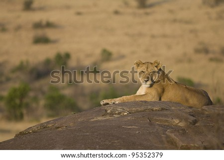 A lioness sits ontop of some rocks in the Masai Mara. - stock photo