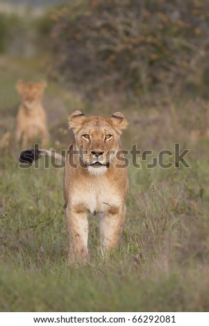 A lioness stares determinedly protecting her cub in background. - stock photo