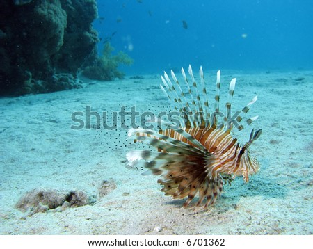 A lionfish - stock photo