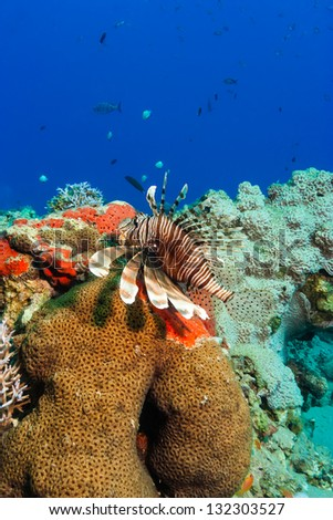 A lionfish swims next to hard coral on a tropical reef - stock photo