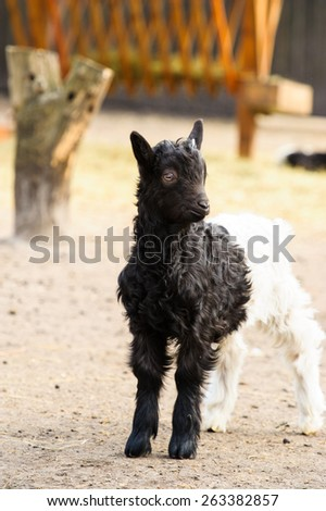 a little baby goat - stock photo