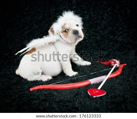 A Little Bulldog puppy wearing angel wings and a halo, sitting with a bow and arrow on a black background. - stock photo