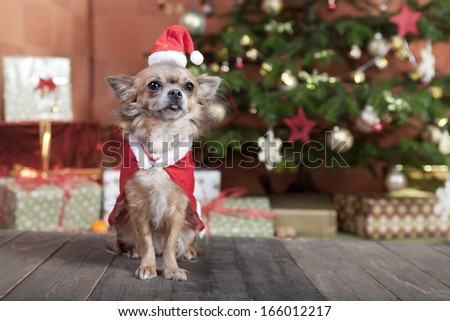 a little chihuahua dog sitting in front of the Christmas tree. He is dressed as Santa Claus - stock photo