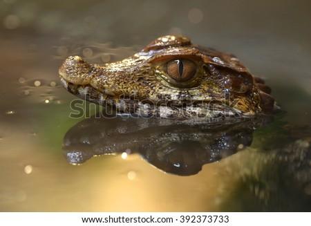 A little crocodile in water - stock photo