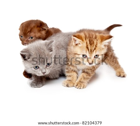 a little funny scottish straight kitten is on the floor. isolated on a white background - stock photo