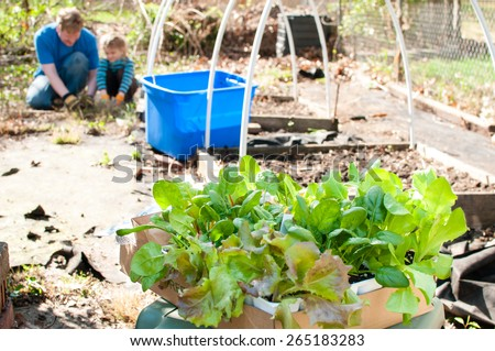 A little girl helps her father plant lettuce in their backyard garden. - stock photo