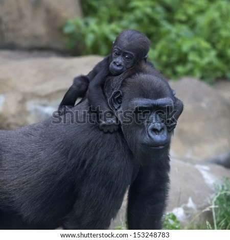 A little gorilla baby is riding on his mother. Monkey family portrait of the great ape. The most powerful and biggest primate of the wild world. - stock photo