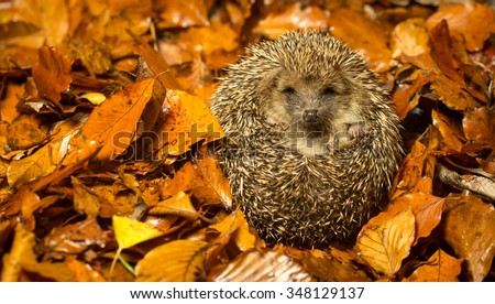 A little hedgehog curled up in cozy autumn leaves  - stock photo