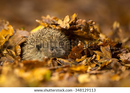 A little hedgehog under some autumn leaves - stock photo