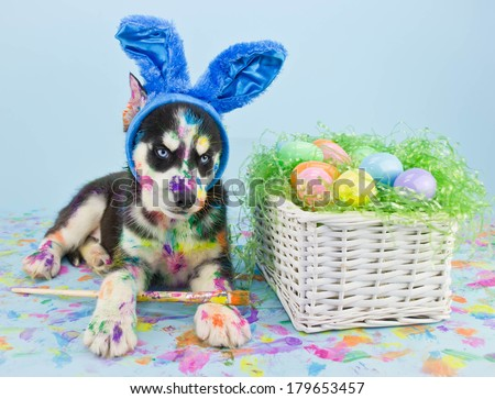 A little Husky puppy that looks like he just painted some Easter eggs wearing Bunny ears. - stock photo