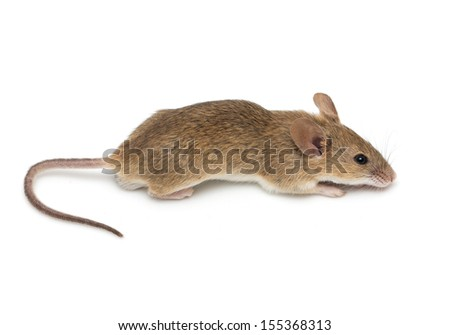 a little mouse isolated on a white background - stock photo