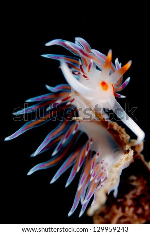 A little nudibranch (Cratena peregrina) in mediterranean sea - stock photo