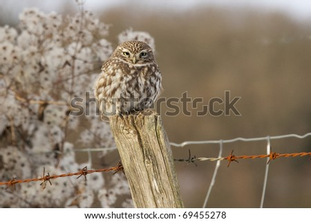 A little owl perched on a fence post in winter - stock photo