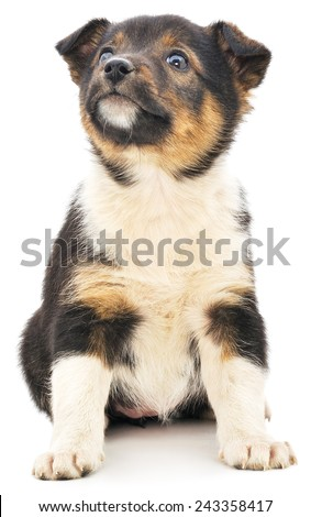 A little pup isolated on a white background. - stock photo