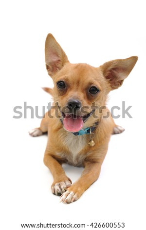 A little puppy lying on a white background - stock photo