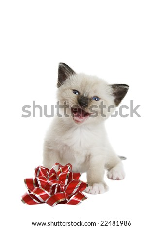 A little Siamese Snowshoe Lynx-point kitten singing a Christmas song.  Shot against white background. - stock photo
