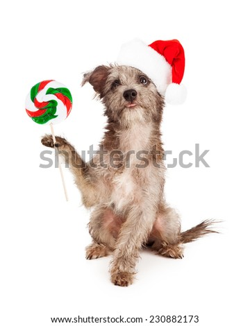 A little terrier mixed breed puppy dog wearing a red santa hat while carrying a Christmas lollipop - stock photo