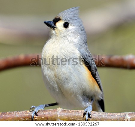 A little Tufted Titmouse on the branch of a tree. - stock photo