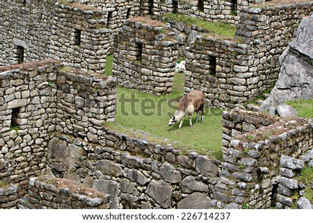 A Llama at Machu Picchu, Peru grazes on graze amongst the stone ruins - stock photo