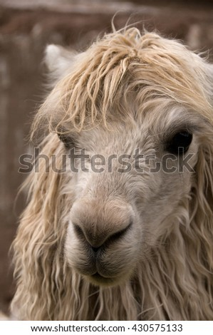 A llama in Peru shows the characteristics that most easily distinguish llamas from alpacas: an elongated snout and short hair on the face.  - stock photo