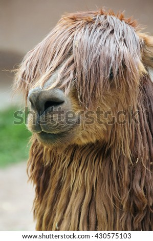 A llama in Peru sports a rangy, over-the-eyes hairdo well known to parents of many teenagers. - stock photo
