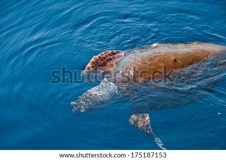 A loggerhead sea turtle also known as the Caretta Caretta swimming in it's natural habitat - stock photo