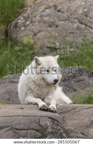 A lone Arctic Wolf in a forest - stock photo