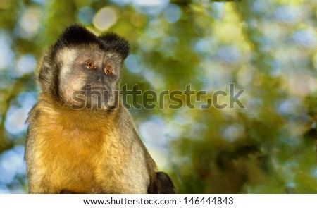 A lone capuchin monkey stares into empty space. - stock photo