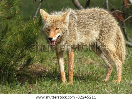 A Lone Coyote In Yellowstone - stock photo