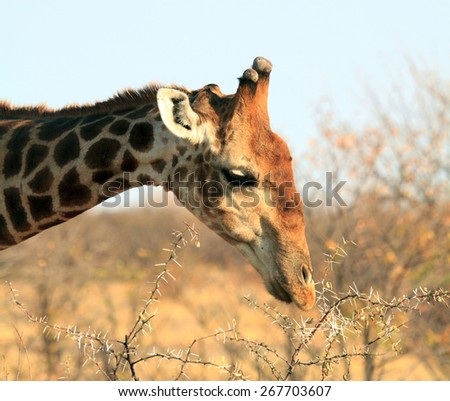 A lone giraffe stripping the thorns off an acacia bush in Namibia - stock photo