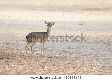 A lone Kirk's Dik-dik - stock photo