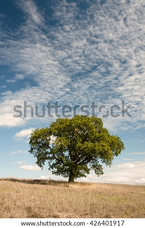 A lone oak tree in a field, North Yorkshire, England. - stock photo