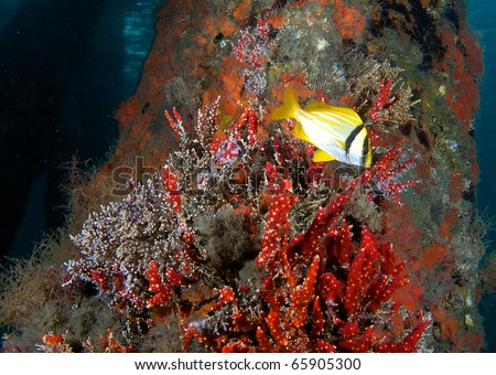 A lone Porkfish swims past a bridge abutment on the intercoastal waterway, in Palm Beach County, Florida. - stock photo