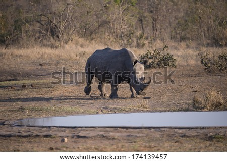 A lone Rhino approaches the waterhole - stock photo